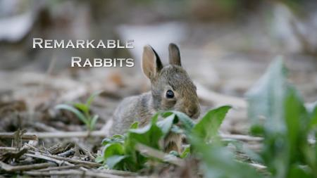 CBC - The Nature of Things: Remarkable Rabbits (2019)