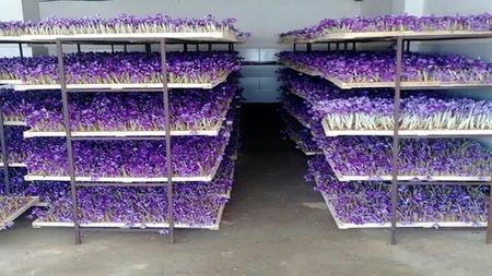 Greenhouse cultivation traning course of saffron
