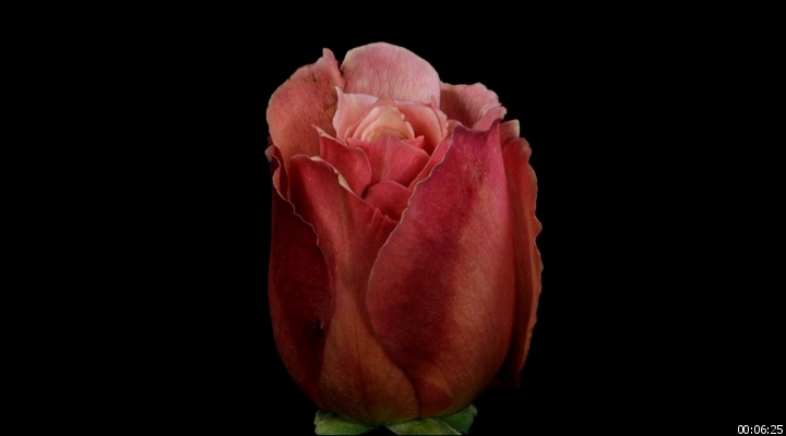 Гифка распускающаяся роза