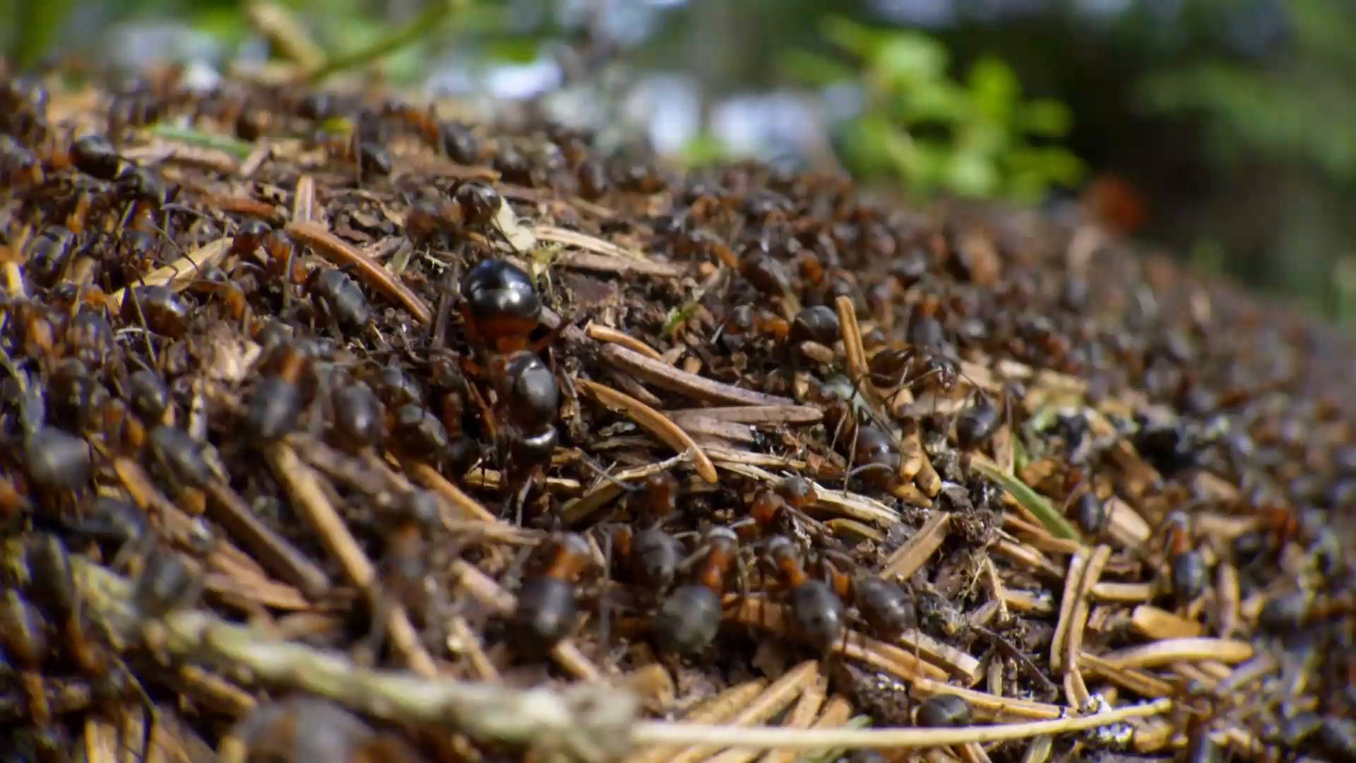 BBC - Natural World: Attenborough and the Empire of the Ants (2017)