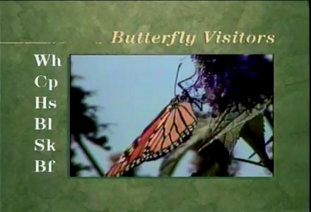 Audubon Butterfly - Essentials for beginners and gardeners