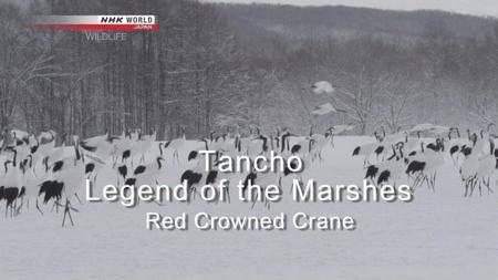 NHK Wildlife - Tancho, Legend of the Marshes: Red Crowned Crane (2013)