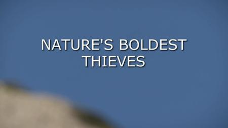 Nature's Boldest Thieves (2015)
