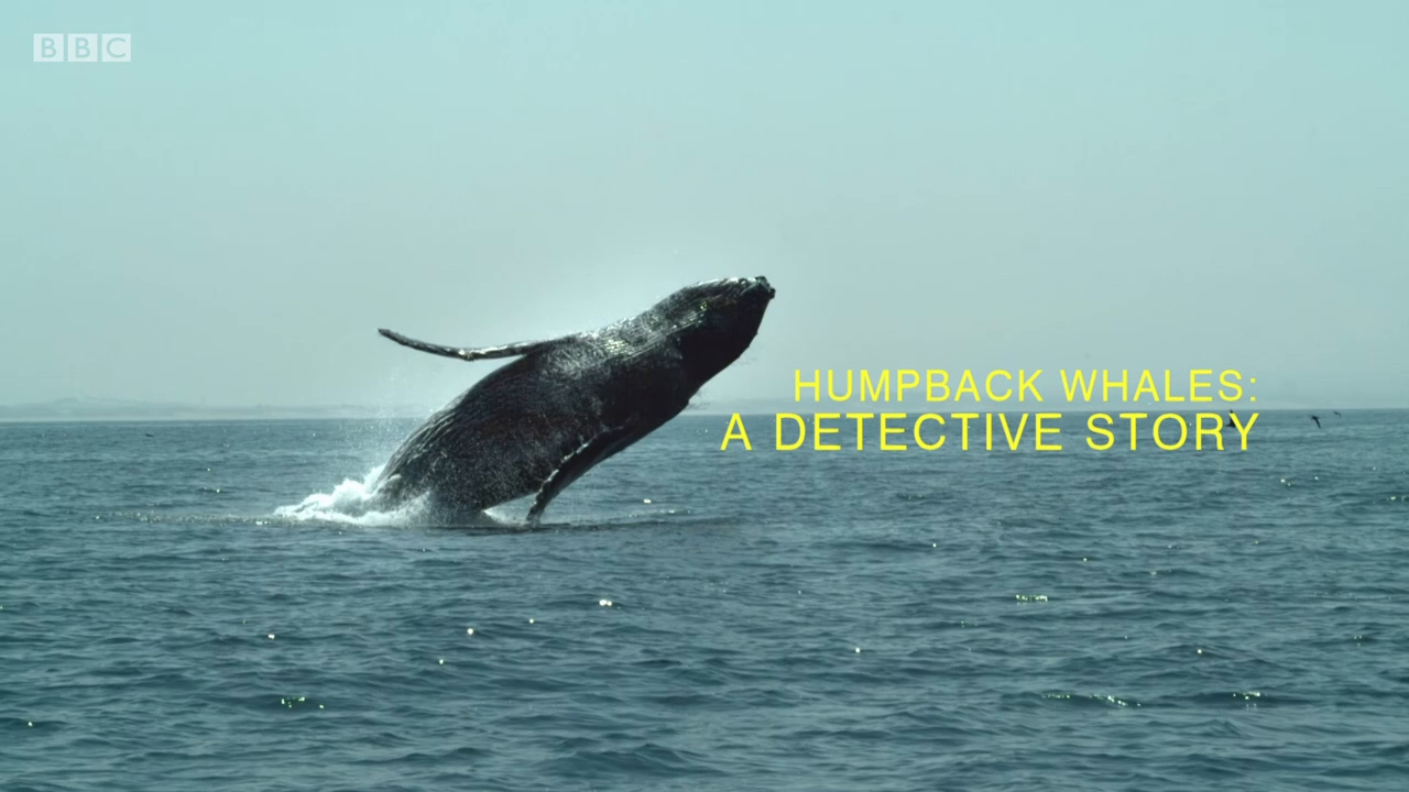 BBC Natural World - Humpback Whales: A Detective Story (2019)