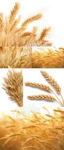 Wheat 9