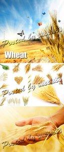 Stock Photo - Wheat